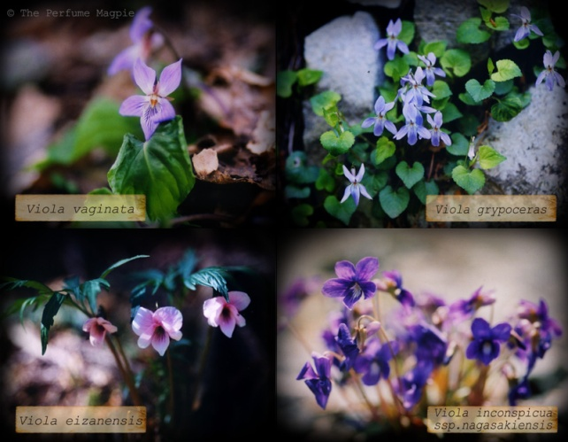 Some Wild Violets | Photos by The Perfume Magpie